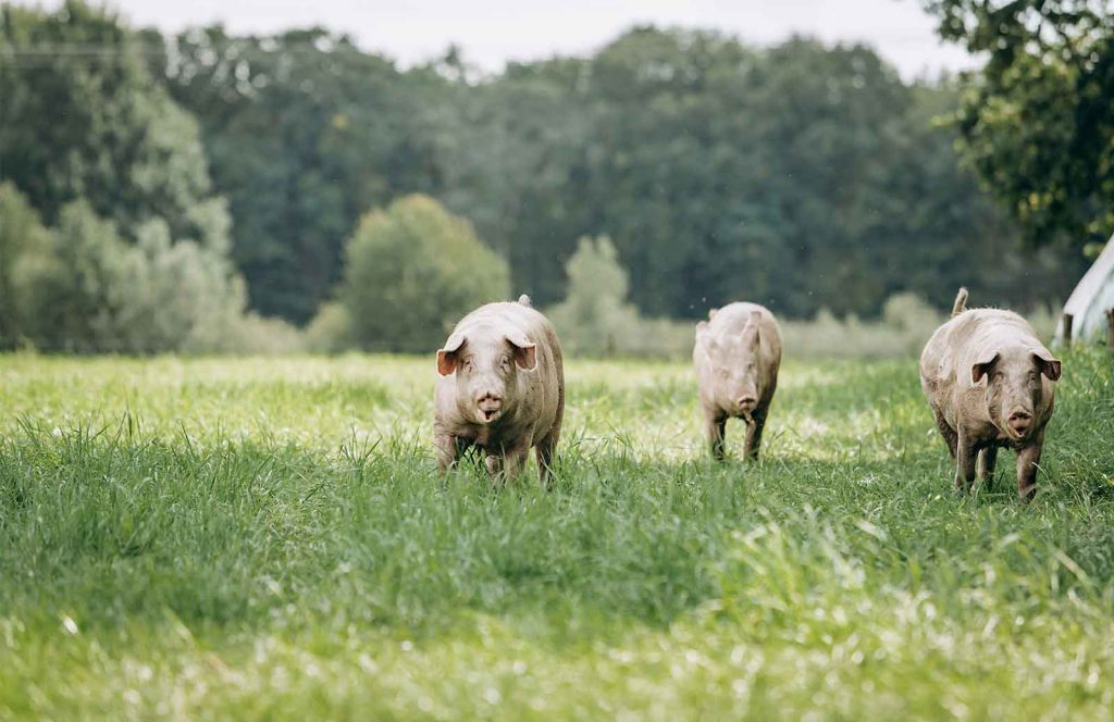 cerdos-ibericos-montanera-www-donbernardino.es